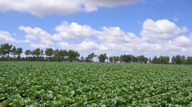 安丘蔬菜出口份额居潍坊第一 占山东七分之一