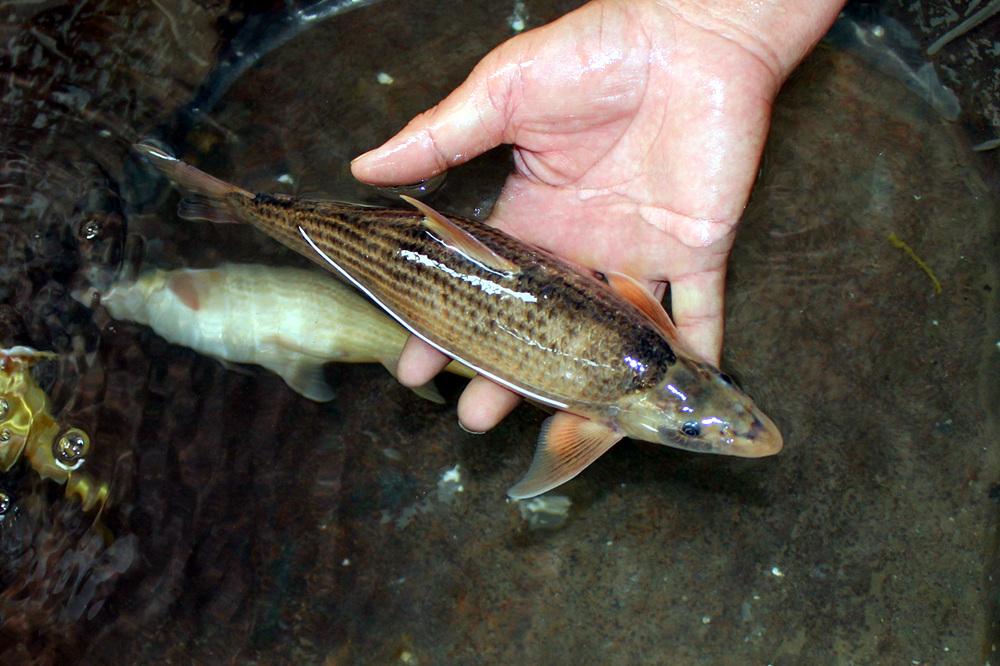 罕见!国家濒危二级保护鱼类北方铜鱼现身东阿