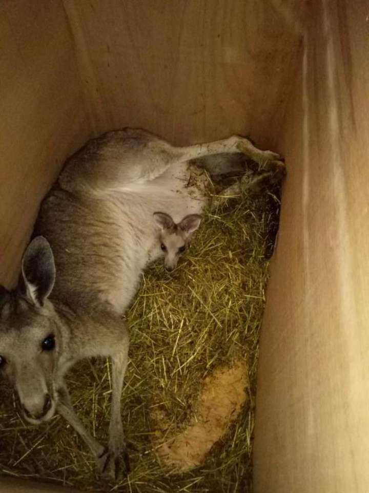 """12只灰袋鼠""""飞来""""青岛机场 将落户荣成栖霞动物园"""