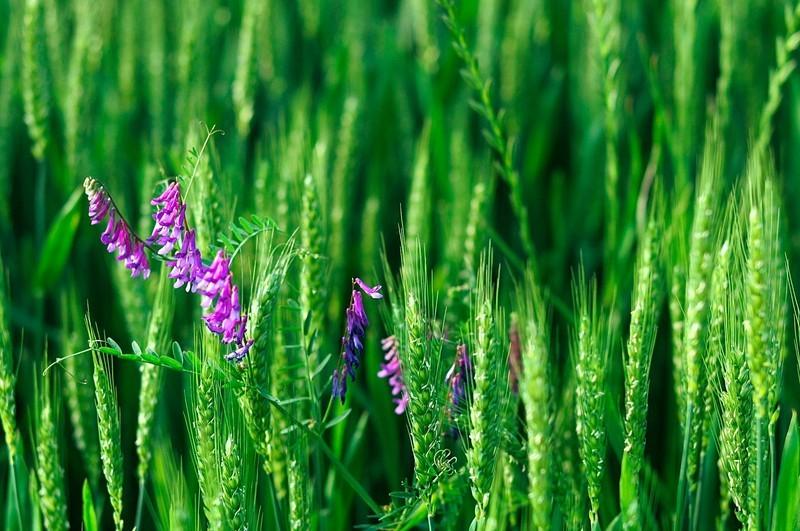 山东小麦处于拔节期 要预防倒春寒