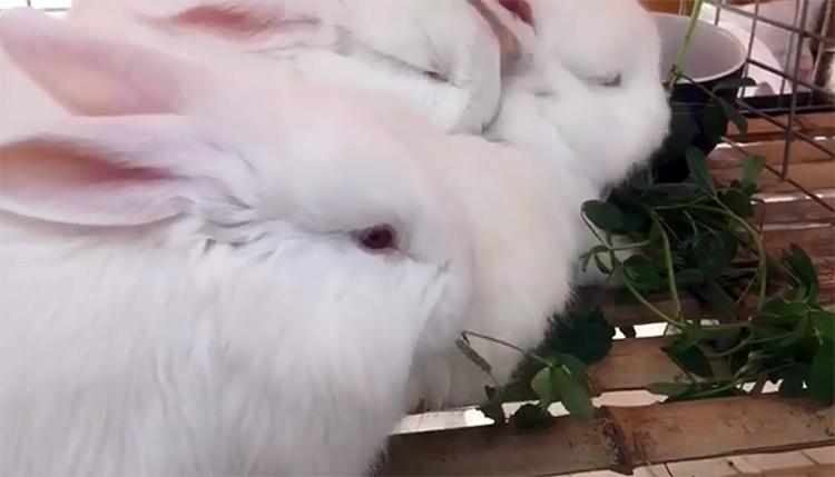 蒙阴举办全国长毛兔产业发展大会 一只种兔可卖800元