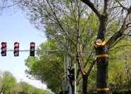 """潍坊:城市道路两侧景观树木要""""理发""""了 请及时绕行"""