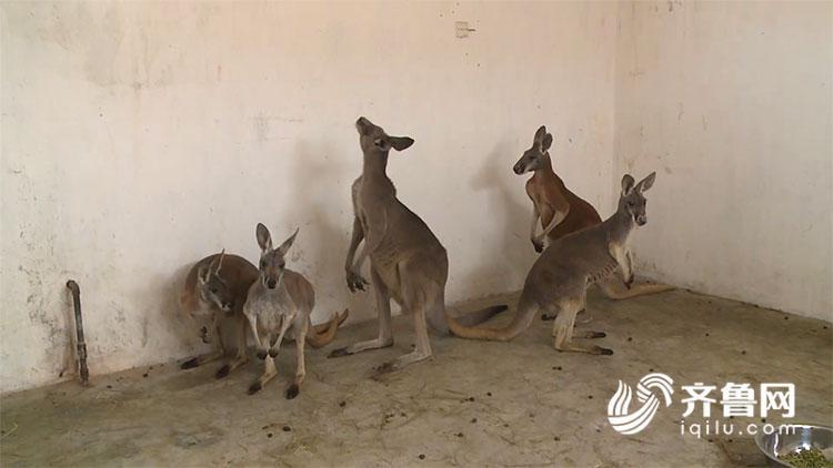 是全世界体型最大的袋鼠,也是澳洲最大的哺乳动物及现存最大的有袋类