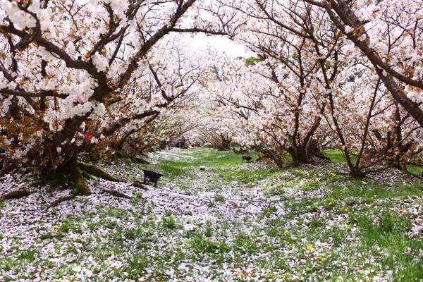 1750亩花海!明年春天, 这里将成济南最大赏樱胜地