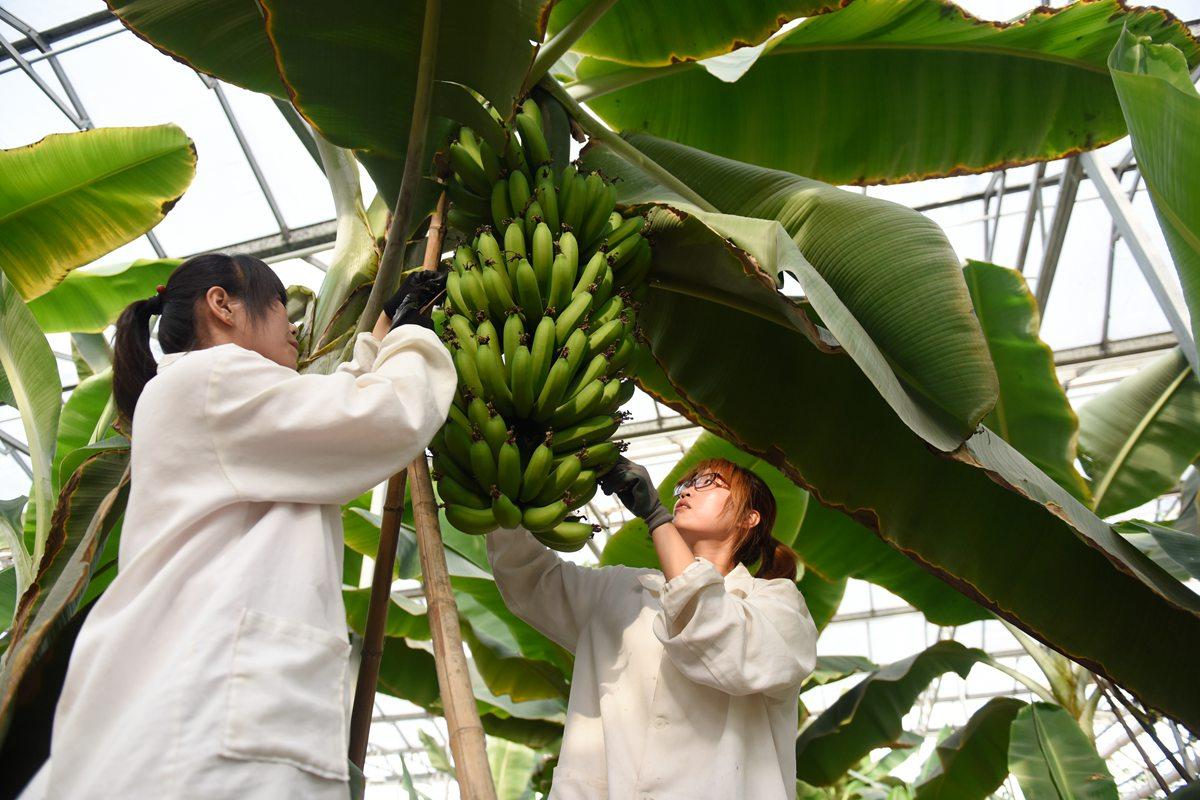 煤炭塌陷区长出香蕉树 看土地如何变废为宝