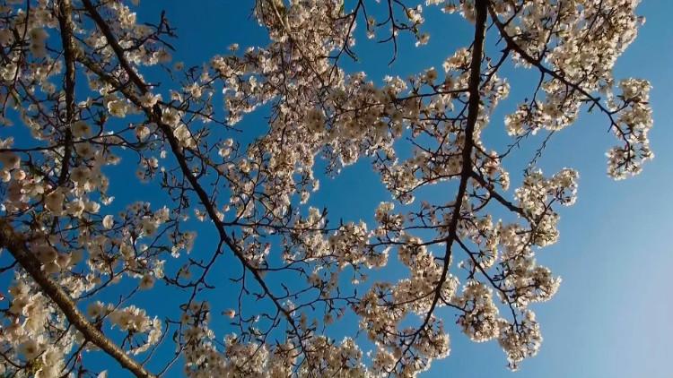 78秒丨四月赏花季山东竟有这等美景! 你最喜欢哪一个?