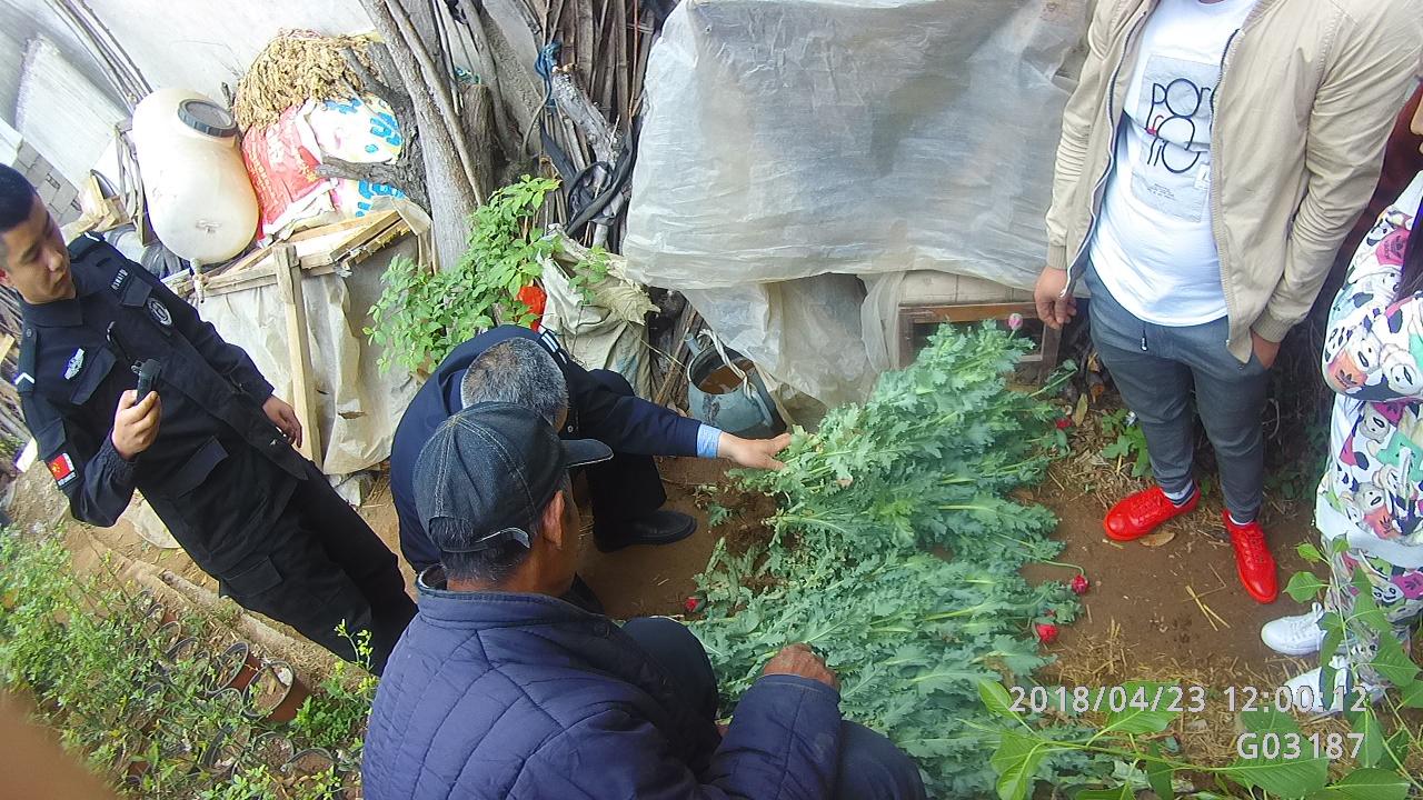 临沂一老汉盆栽罂粟观赏 还到集市上公开售卖