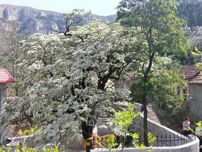 树覆一寸雪香飘十里村 济南长清千年流苏树开花