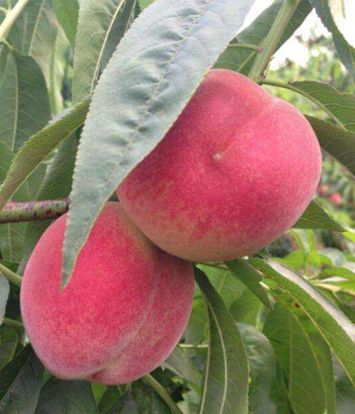 山东:桃种植保险责任日期最晚不超过10月31日