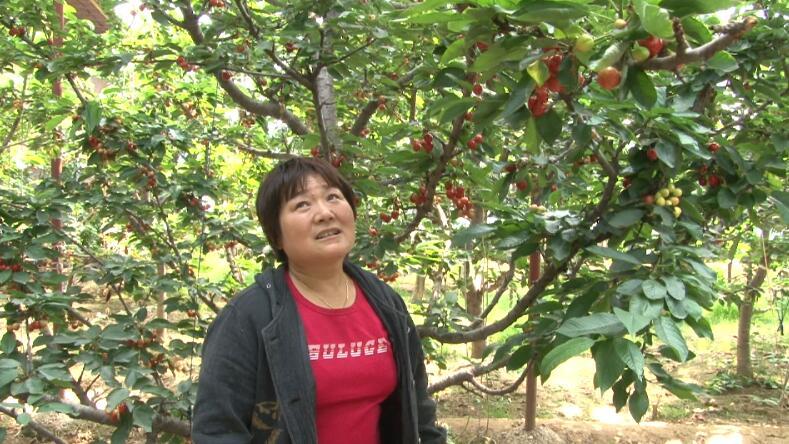 樱桃熟了!全国1/3大棚樱桃产自山东这个县,年产值25亿