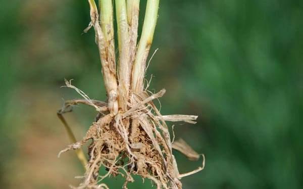 山东:小麦纹枯病、红蜘蛛普遍发生 各地应积极防控