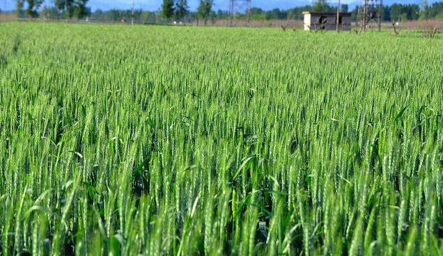 小麦陆续进入穗期 山东发布病虫害防控工作紧急通知