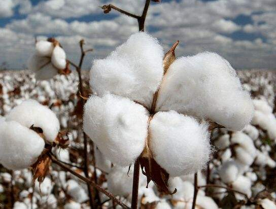 """山东:打造全产业链融合模式 促棉花""""绿色增长"""""""
