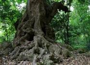 山东对古树名木分三级保护 在古树上乱划最高罚1万