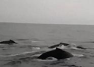 蓬莱长岛海域疑似出现鲸鱼群!你见过吗?请联系我们……