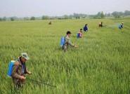 494万亩小麦进入抽穗扬花期 潍坊通过这些措施力保夏粮丰收
