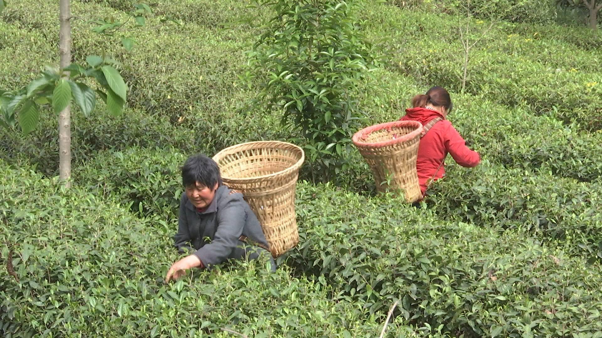 86秒丨茶叶千元一斤!被山东扶植后的北川茶产业有啥不同