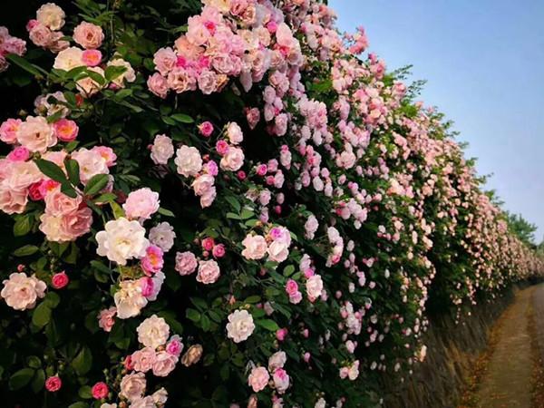 满架蔷薇一院香! 青岛发布蔷薇赏花预报