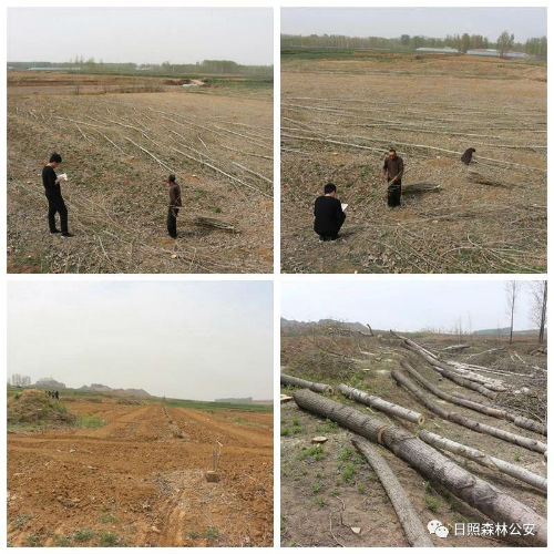 日照莒县森林公安局成功破获一起特别巨大滥伐林木案