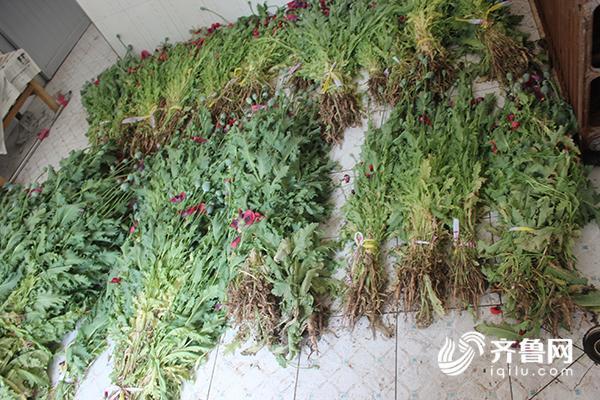 高青一居民非法种植罂粟2819株  目前已采取刑事强制措施2.jpg