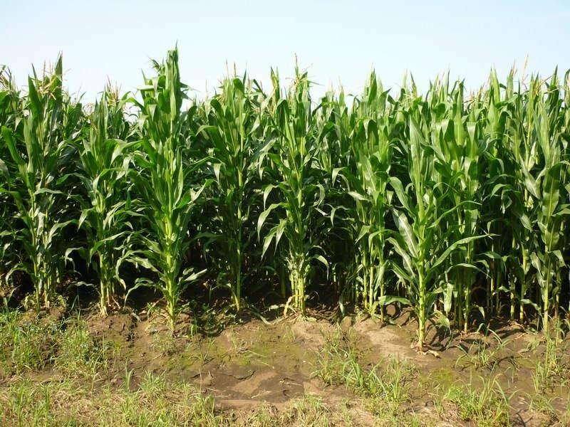 山东:2017年青贮玉米种植面积达212万亩