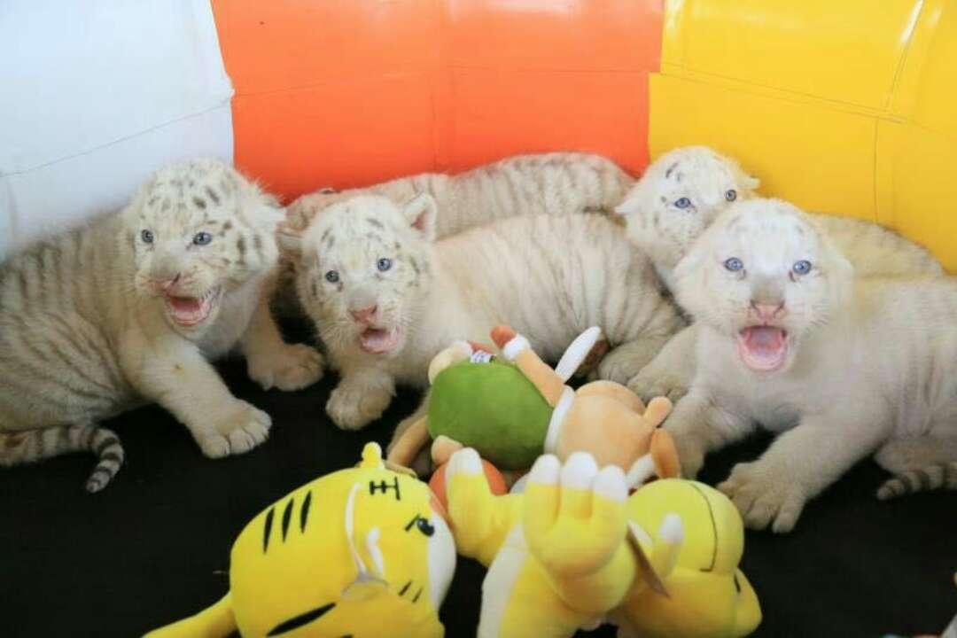 好消息!济南野生动物世界神奇雪虎五胞胎有名字啦!