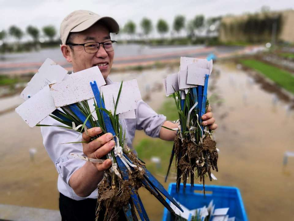 青岛今年首批海水稻插秧 全国五大盐碱地实验基地将推广