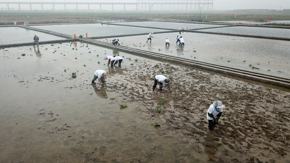 飞吧山东|航拍带你看海水稻是如何栽种的