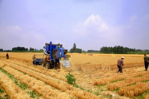 淄博已累计收获小麦30.1万亩 占应收面积20.2%
