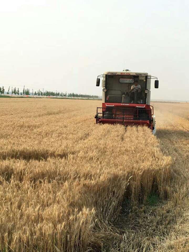 山东累计收获小麦3779万亩 占应收面积的65%