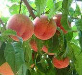 115秒|蒙阴蜜桃产业转型:品种更新换代 提倡有机肥种植改善口感