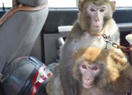 滨州无棣爱心人士向北海凤鸣鸟类湿地公园捐赠两只猕猴
