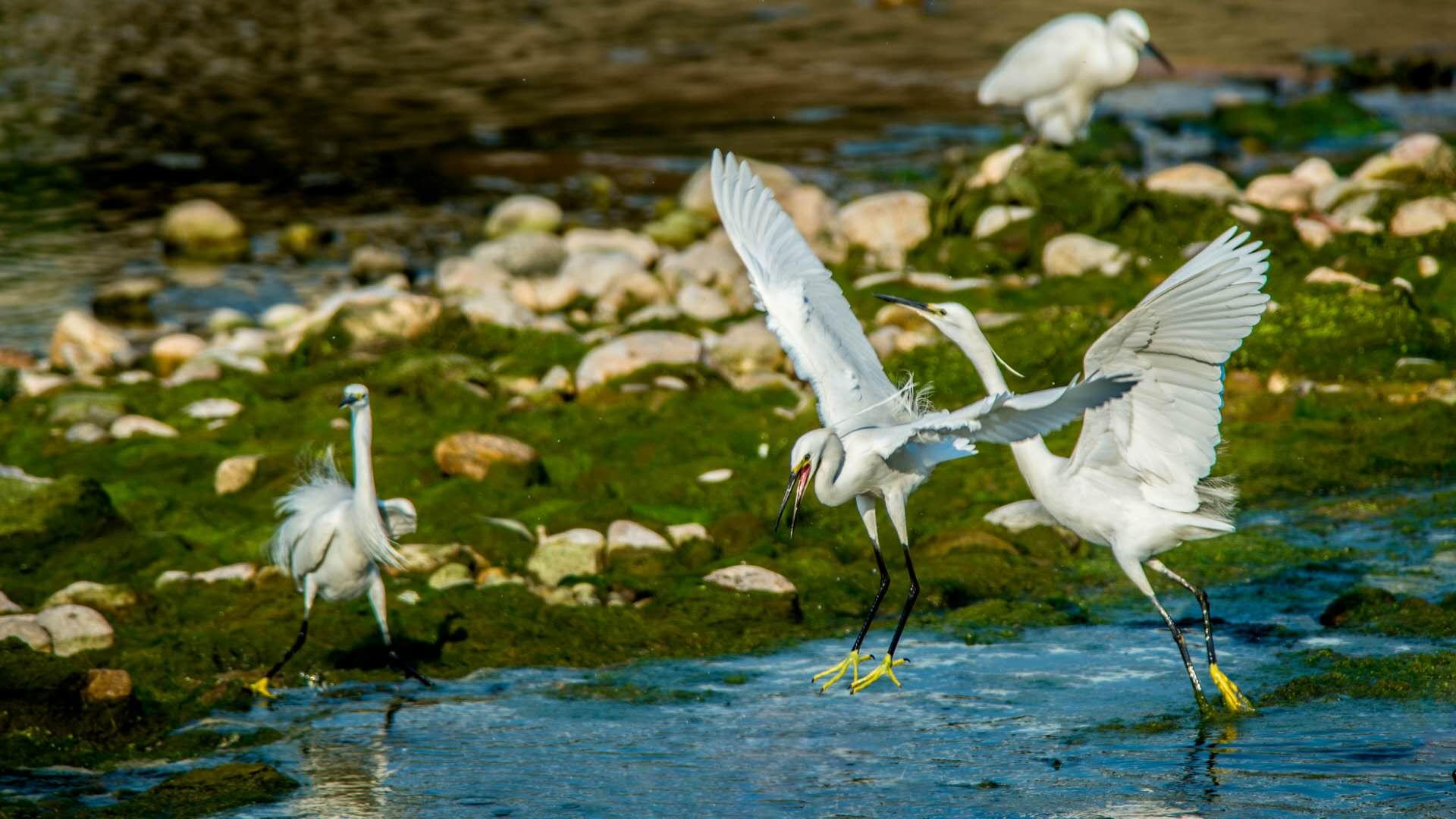 漂亮!济南玉符河湿地水优景美 引白鹭栖息