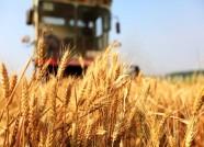 """单日收获小麦最高达77万亩 潍坊夏收进入""""加速模式"""""""