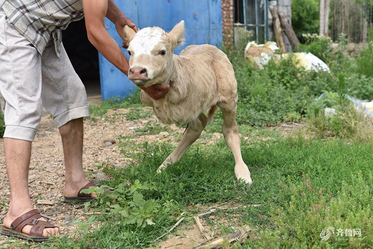 日照一小牛犊天生两条腿 走路像袋鼠