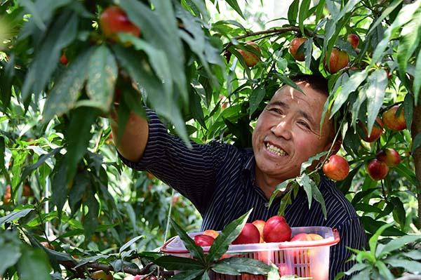 一个桃子能卖50元 品牌建设让蒙阴蜜桃香飘万里
