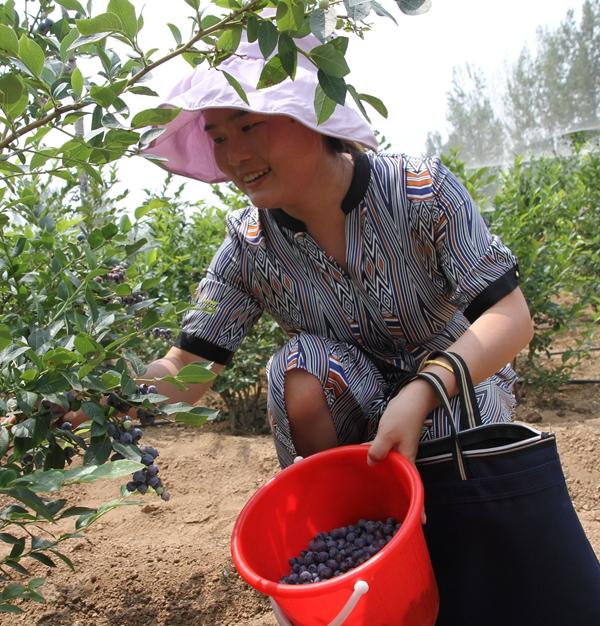 """蓝莓丰收啦!枣庄山亭8.6万户农民靠特色产业摘掉""""贫困帽"""""""