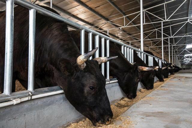 从牧场到餐桌 高青黑牛被选为上合宴用牛肉食材