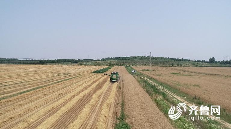 小麦3.jpg