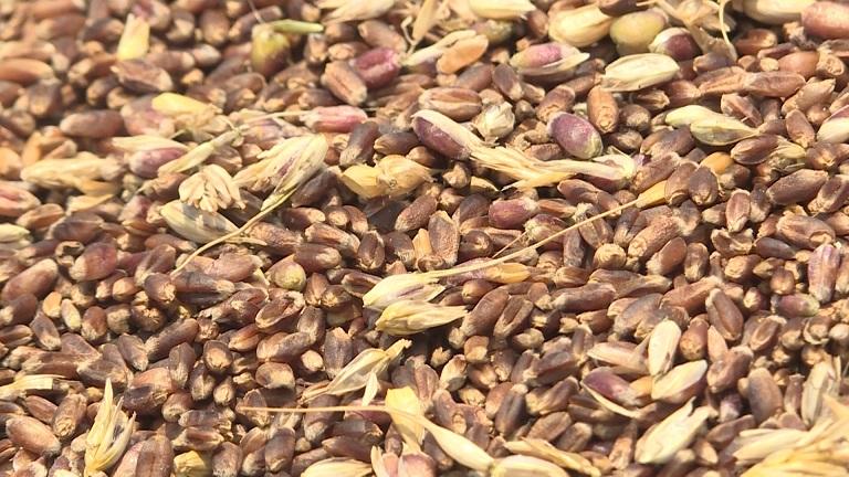 34秒丨产量高,抗病性强!荣成一村子种的400亩紫色小麦收获了