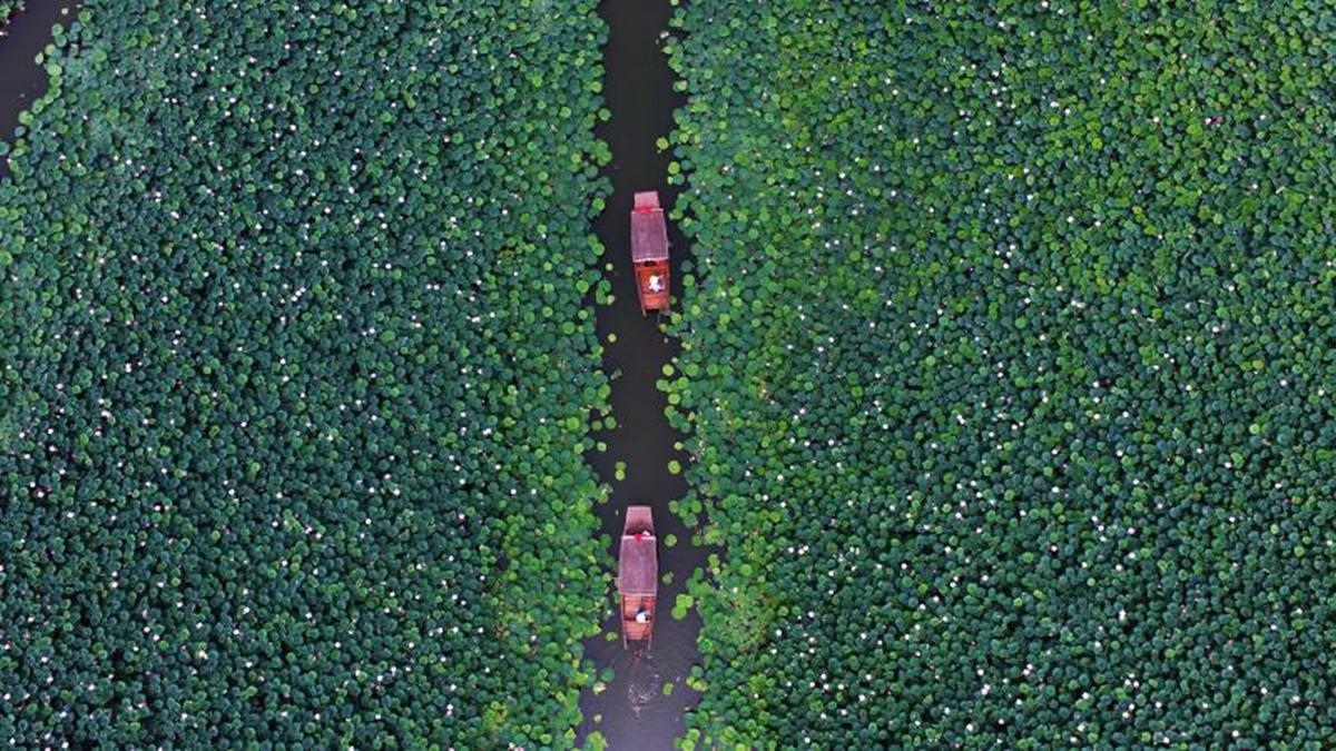 飞吧山东丨古城运河湿地荷花盛开 泛舟游览如入仙境