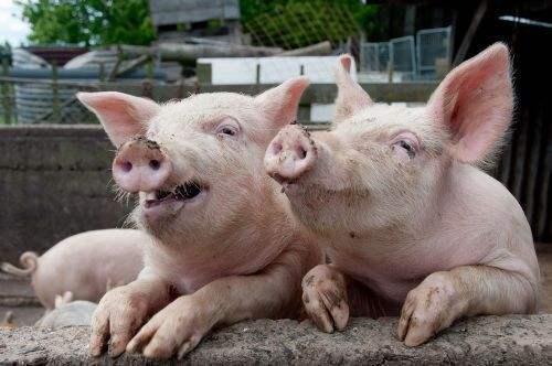 山东7月猪价或呈现缓慢上涨态势 生猪养殖走出亏损