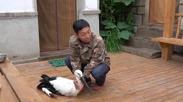 长岛居民齐力救助国家一级保护动物东方白鹳