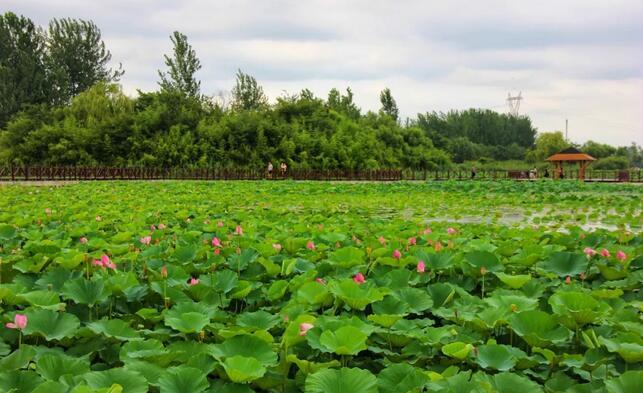 免费开放!首届中国临沂红荷节开幕将持续至7月15日