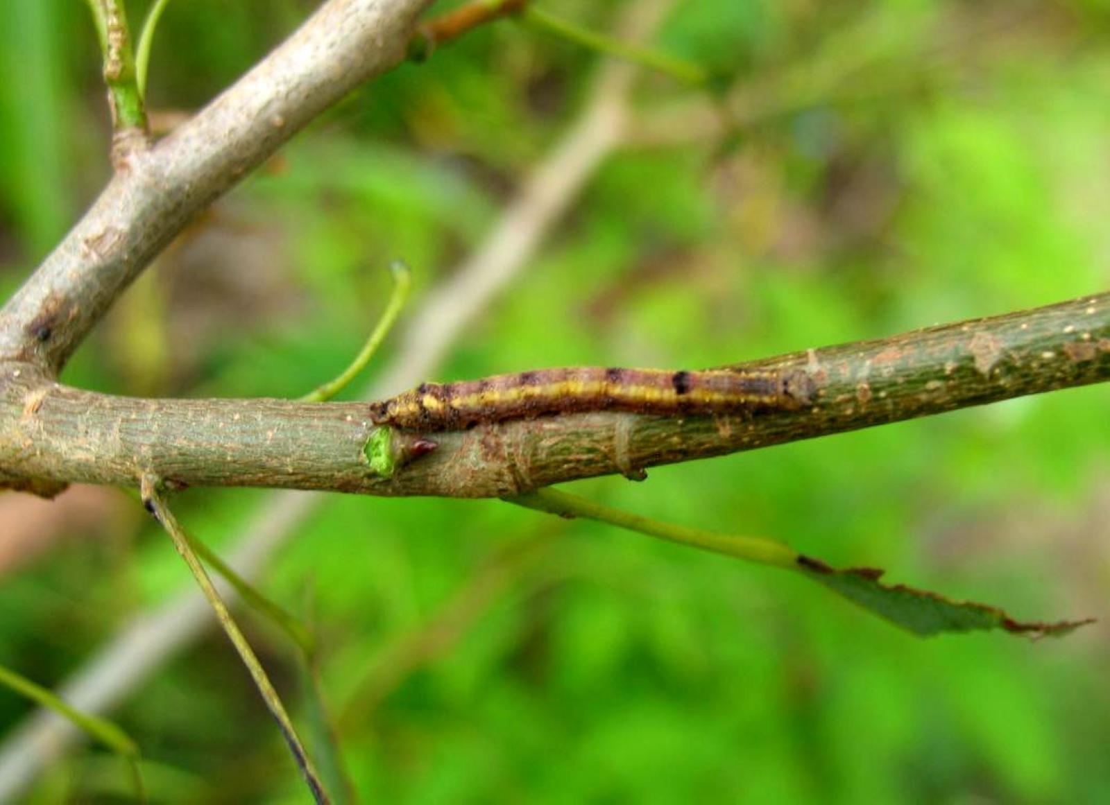 山东各地美国白蛾第2代孵化高峰期到来 新增发生面积50万亩