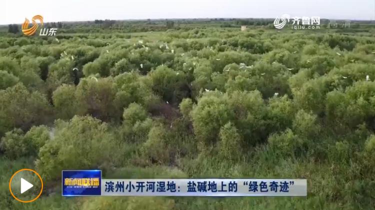 """滨州小开河湿地:盐碱地上的""""绿色奇迹"""""""