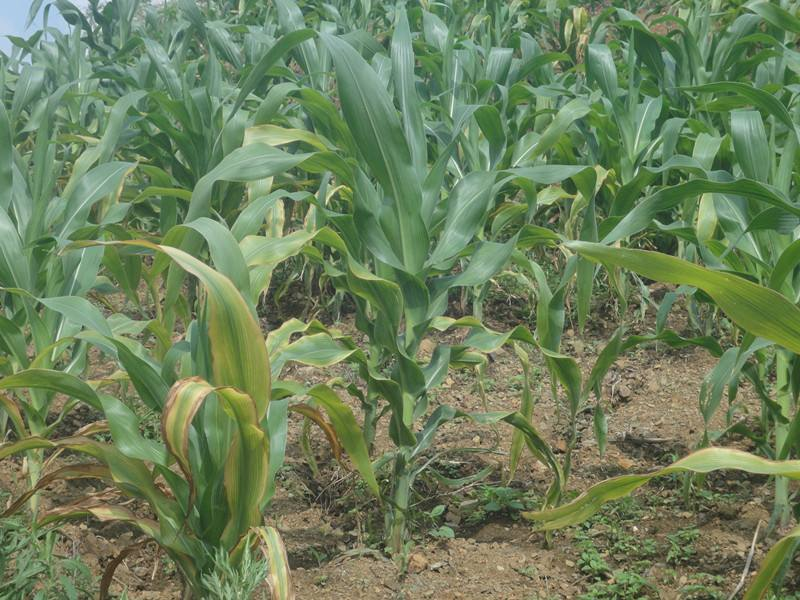 7月下旬至8月上中旬 山东降水偏多利于农田病害发生