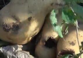 100秒丨平度种植户160多亩土豆遭遇虫害 竟是农药惹的祸?