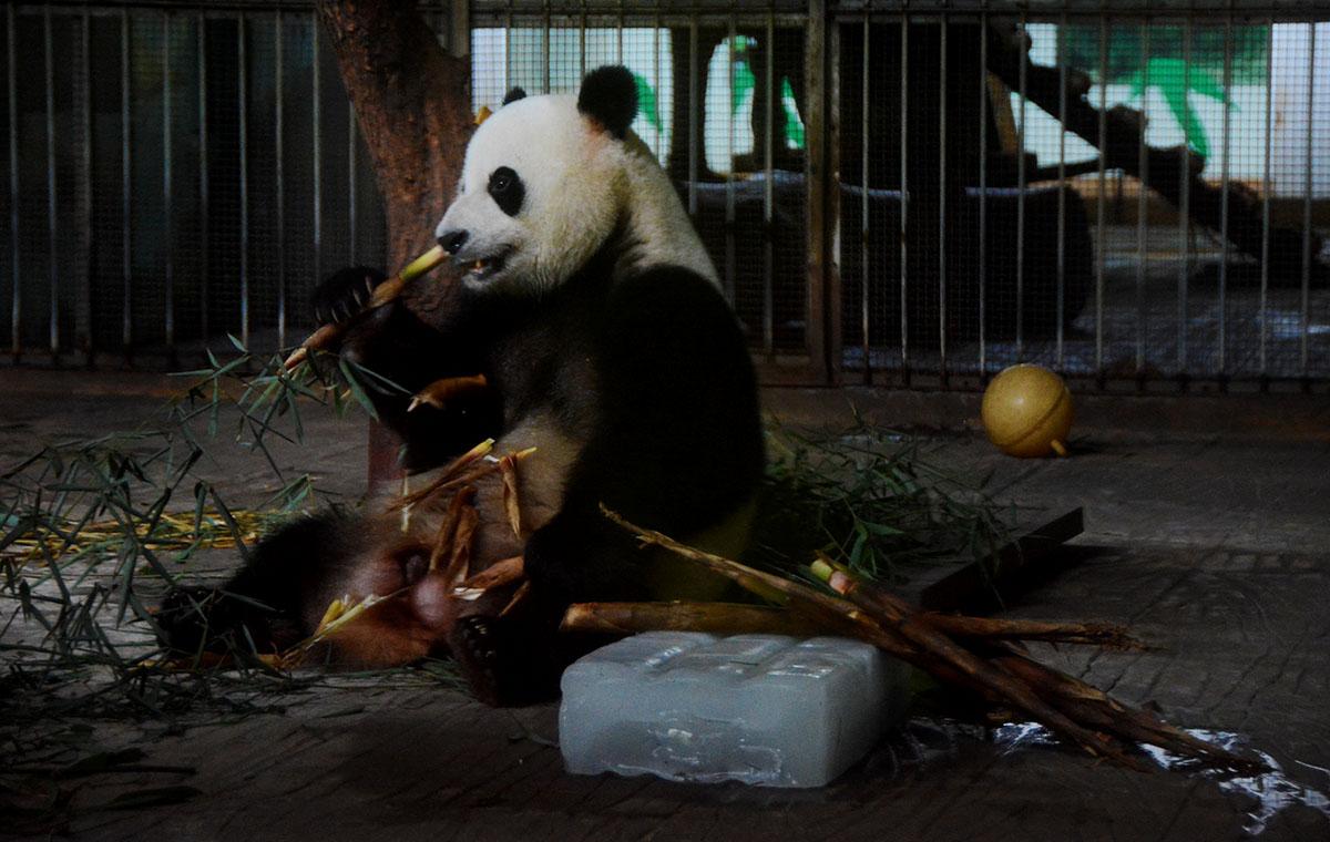 """国宝咋避暑?济南动物园大熊猫空调屋里享""""冰上宴"""""""
