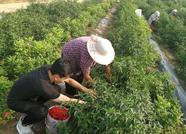 东平杜村玫瑰套种辣椒 采摘季村民每人每天多赚80多块